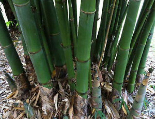 Dalla cucina all'edilizia: tutte le potenzialità del bambù gigante in Italia